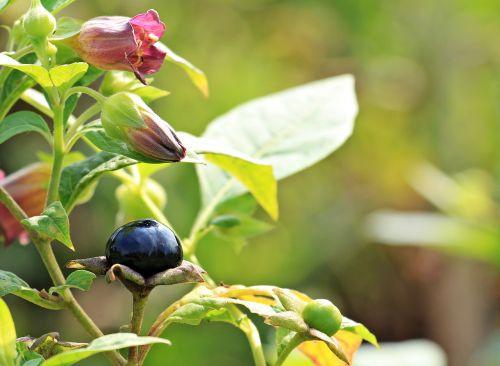 belladonna atropa belladonna plant
