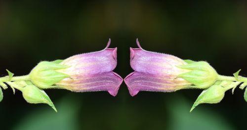 belladonna nature toxic