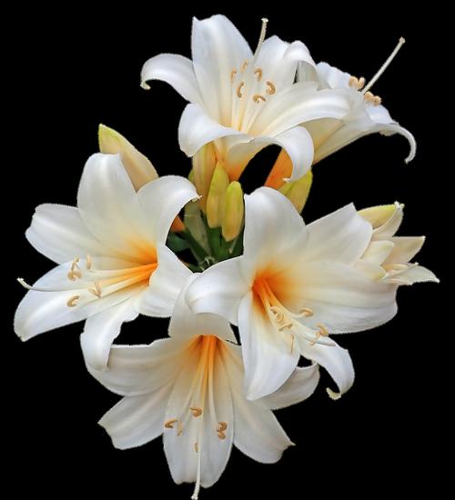 belladonna  lilies  easter lilies