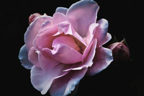 Beautiful Roses On Black