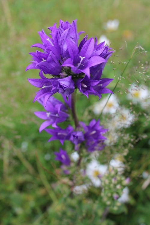 bellflower pointed flower flower