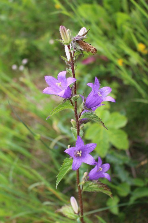 bellflower herbs alpine flowers
