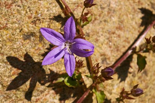 bellflower purple blue