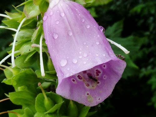 bellflower purple flower