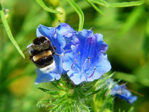 bellflower hummel flower meadow