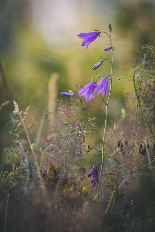 bellflower nature flower