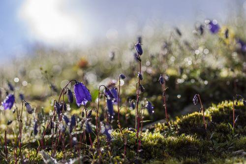 bellflower alps meadow