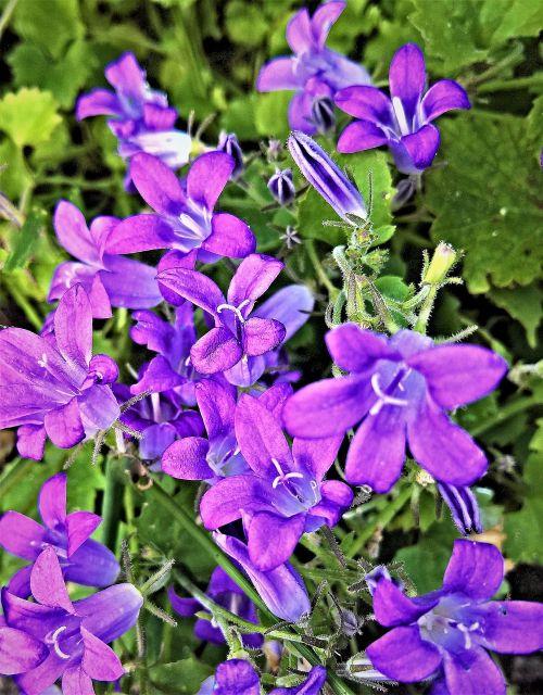 bellflower campanula small flowers