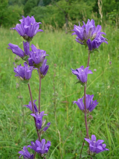 bellflower nature blue