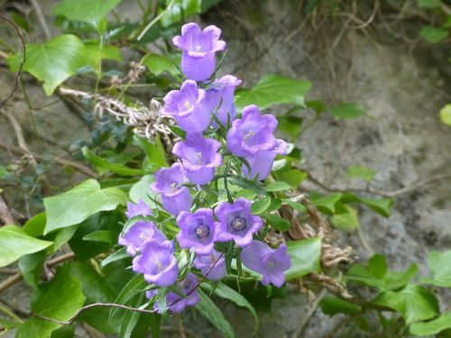 bellflower nature flowers