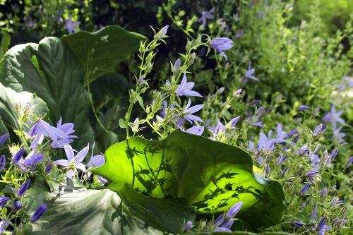 bellflower flower garden bell flower greenhouse