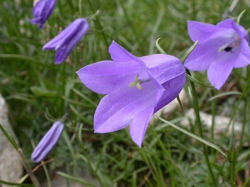bellflower flower bell