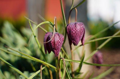 bellflower  flower  bloom