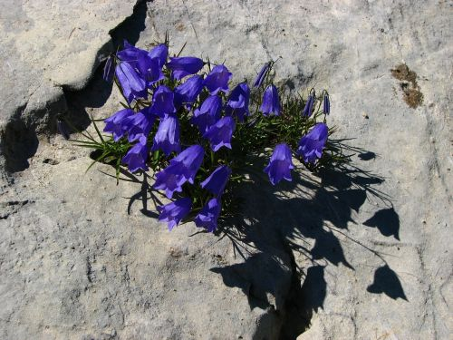 bellflower blue alpine flower