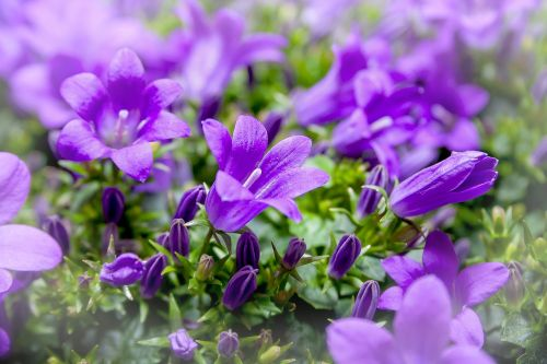 bellflower campanula purple