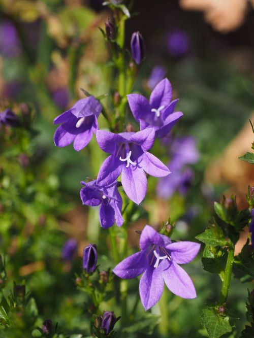 bellflower flower bell