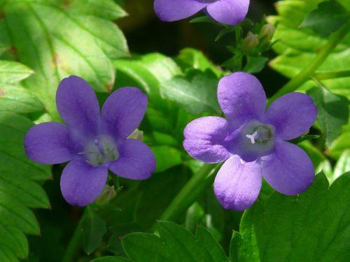 bellflower flower blossom