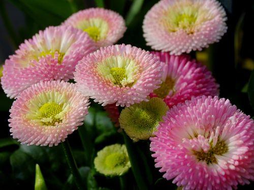 bellis culture daisy composites