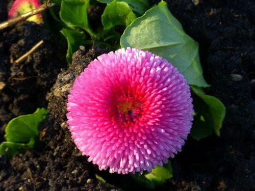 bellis flower blossom