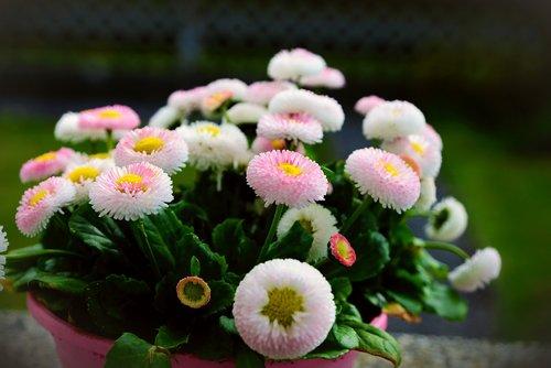 bellis  daisy  tausendschön
