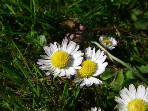 bellis,gėlė,botanika