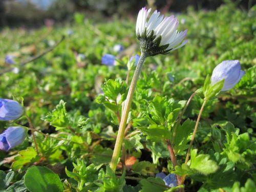 bellis perennis common daisy lawn daisy