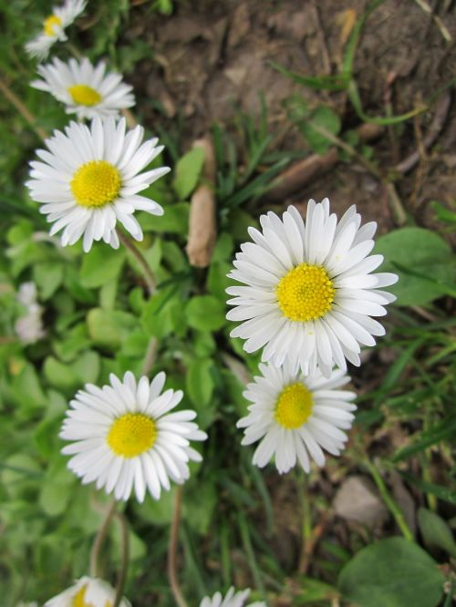 bellis perennis english daisy common daisy