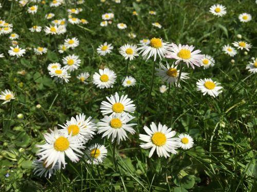 bellis filosofija,Daisy,pavasaris,vasaros pieva,gydymas