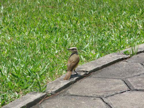 Bem-te-vi,paukštis,Brazilijos