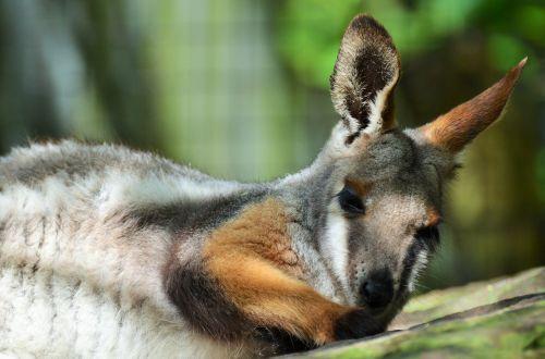 benett wallaby wallaby kangaroo
