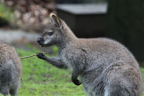 bennett kangaroo red necked wallaby