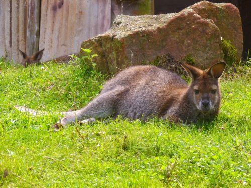 bennett kangaroo australia wallaby
