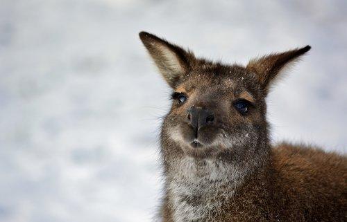 bennett kangaroo  winter  nature