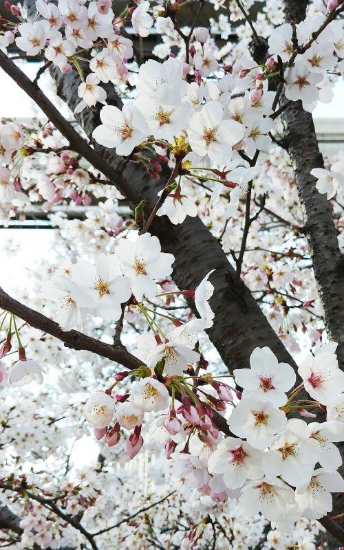 beoc gėlės,gėlės,mediena,balta gėlė,gėlių medis,pavasaris,augalai,gamta,vyšnių žiedas,Baklažanas,balta,Kovas,grožis