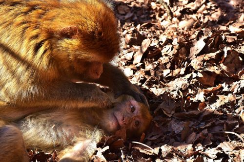 berber monkeys delouse cute