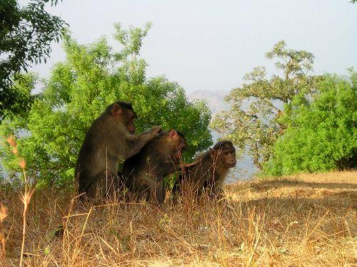 berber monkeys ape delouse