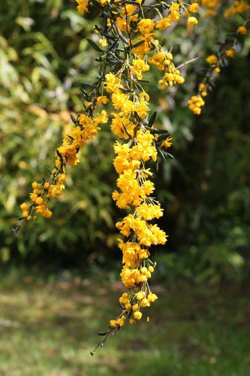 berberis shrub flowers