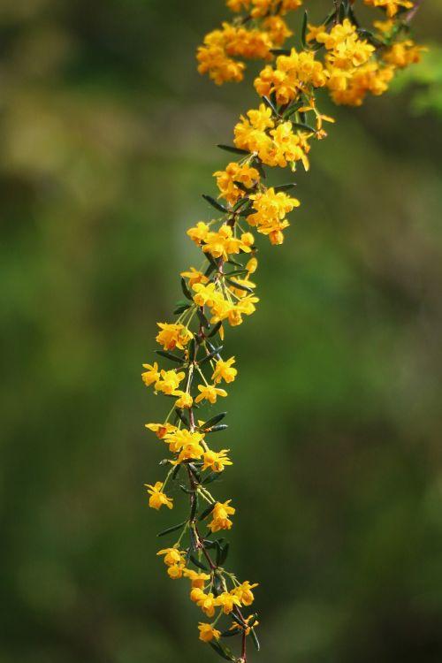 berberis yellow flower shrub