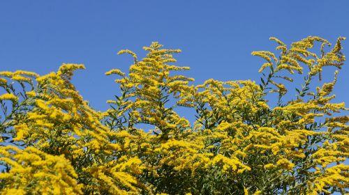 berberis tree yellow