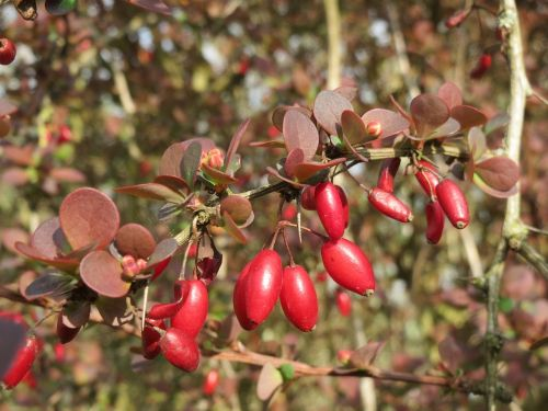 berberis barberry berry