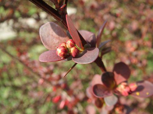 berberis barberry inflorescence