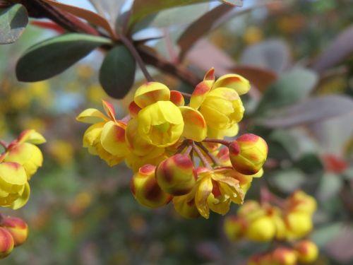 berberis barberry shrub