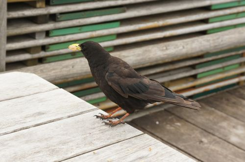 bergdohle bird feather
