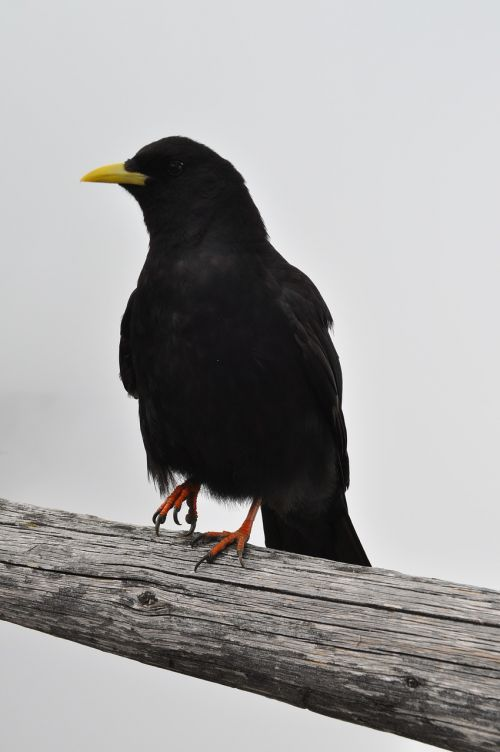 bergdohle jackdaw raven