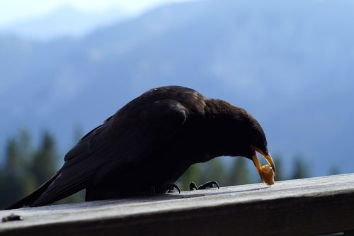 bergdohle  bird  chough