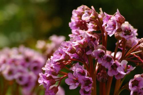 bergenia flowers ornamental shrub