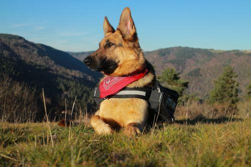berger german german shepherd