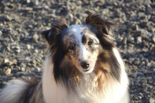 Shetland Shepherd Female