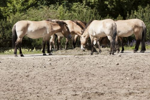 Berlynas,gyvūnų parkas Berlynas,arkliai