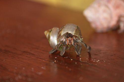 bernard terrestrial hermit animal shell